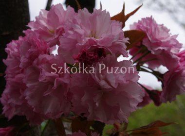 Prunus serrulata (wiśnia piłkowana) 'Kanzan'