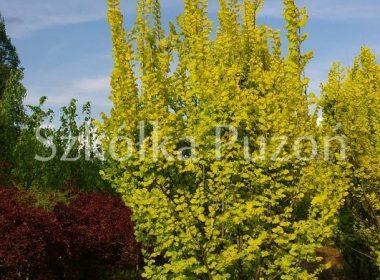 Ulmus x hollandica (wiąz holenderski) 'Wredei'