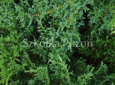 Juniperus sabina (jałowiec sabiński) 'Tamariscifolia'