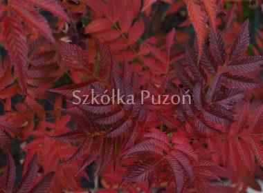 Sorbaria sorbifolia (tawlina jarzębolistna) 'Sem' (jesień)