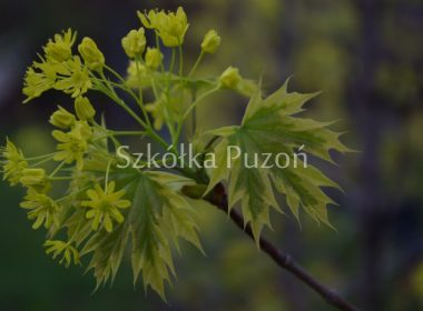 Acer platanoides (klon zwyczajny) 'Drummondii' (wiosna)