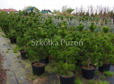 Pinus mugo (sosna górska) 'Gnom'