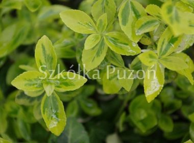 Euonymus fortunei (trzmielina Fortune'a) 'Emerald' 'n' Gold'