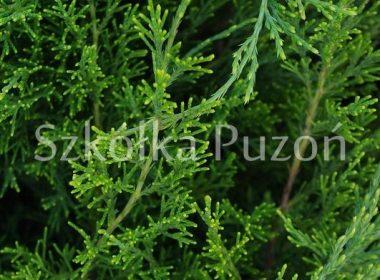 Juniperus x pfitzeriana (jałowiec Pfitzera) 'Mint Julep'