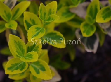 Euonymus fortunei (trzmielina Fortune'a) 'Emerald 'n' Gold'