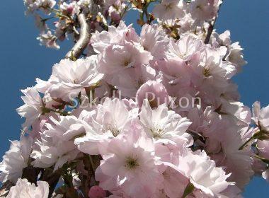 Prunus serrulata (wiśnia piłkowana) 'Amanogawa'