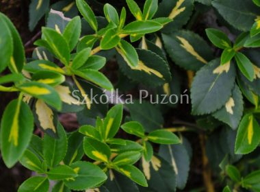 Euonymus fortunei (trzmielina Fortune'a) 'Sunspot'