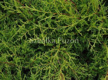 Juniperus x pfitzeriana (jałowiec Pfitzera) 'Old Gold'