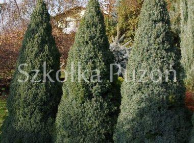 Picea glauca (świerk biały) 'Sander's Blue'