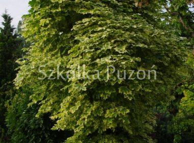 Acer platanoides (klon zwyczajny) 'Drummondii'