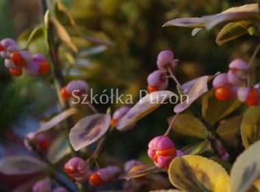 Euonymus fortunei (trzmielina Fortune'a) 'Emerald' 'n' Gold' (jesień)
