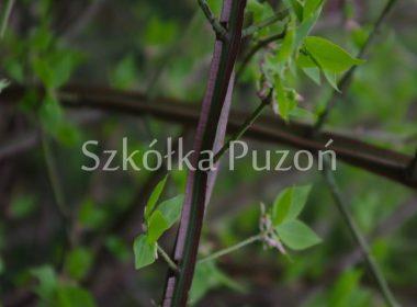 Euonymus alatus (trzmielina oskrzydlona)