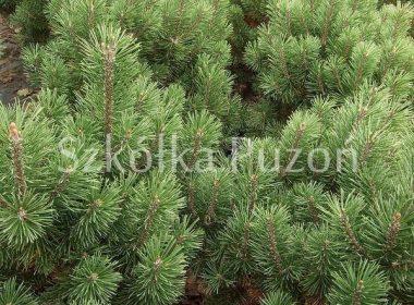 Pinus mugo (sosna górska) 'Mini Mops'