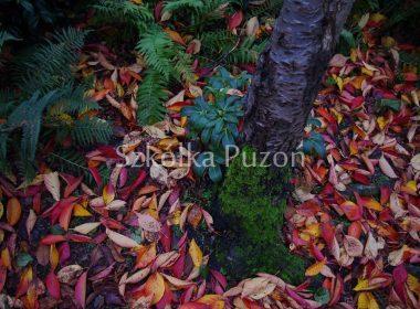 Prunus (wiśnia) (jesień)