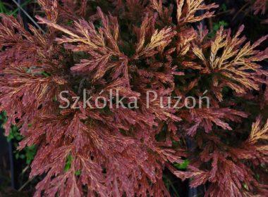 Juniperus horizontalis (jałowiec płożący) 'Limeglow' (zimą)