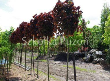 Acer platanoides (klon zwyczajny) 'Crimson Sentry' (Pa.)