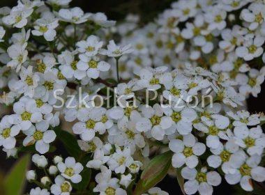 Spiraea x cinerea (tawuła szara) 'Grefsheim'