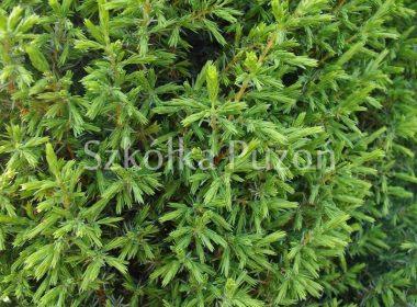 Juniperus communis (jałowiec pospolity) 'Suecica'