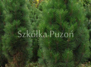 Pinus nigra (sosna czarna) 'Fastigiata RENII'