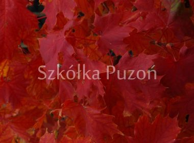 Acer platanoides (klon zwyczajny) 'Crimson Gold' (jesień)