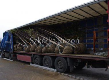 Załadunek- Betula pendula (brzoza brodawkowata) 'Fastigiata'