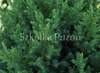 Juniperus chinensis (jałowiec chiński) 'Stricta'
