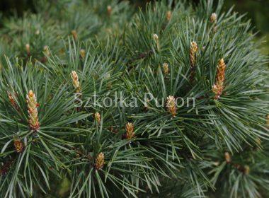 Pinus nigra (sosna czarna) 'Brepo'