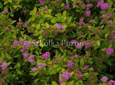Spiraea japonica (tawuła japońska) 'Golden Princess'