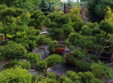 Chamaecyparis pisifera (cyprysik groszkowy) 'Filifera Nana' (bonsaii)