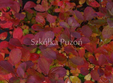 Spiraea betulifolia (tawuła brzozolistna) 'Tor' (jesień)