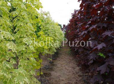 Acer platanoides (klon zwyczajny) 'Drummondii' oraz Acer platanoides (klon zwyczajny) 'Crimson King'
