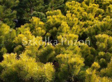 Pinus mugo (sosna górska) 'Winter Gold' (zimą)