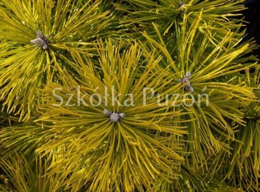 Pinus mugo (sosna górska) 'Winter Gold' (zima)