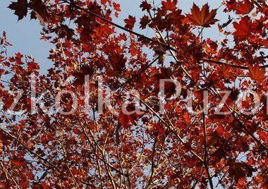 Acer platanoides (klon zwyczajny) 'Crimson King'