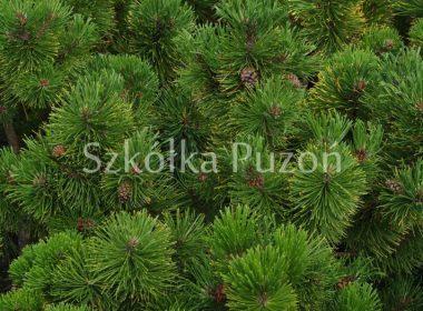 Pinus mugo (sosna górska) 'Winter Sone' (latem)