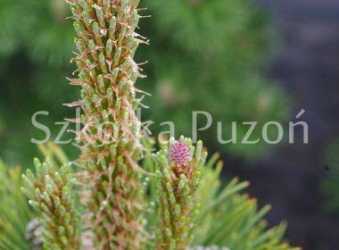 Pinus mugo (sosna górska) 'Winter Gold'