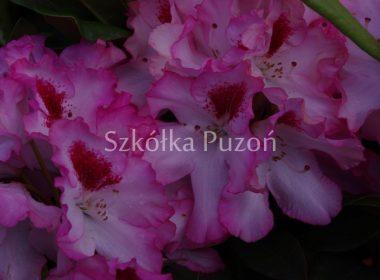 Rhododendron (różanecznik) 'Hachmann's Charmant'