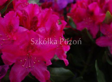 Rhododendron (różanecznik) 'Nova Zembla'