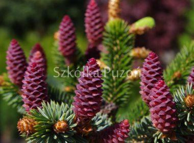 Picea omorika (świerk serbski) 'Pendula'