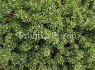 Pinus mugo (sosna górska) 'Litomysl'