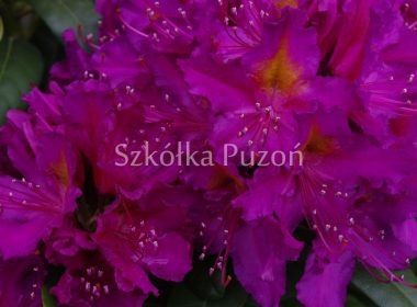 Rhododendron (różanecznik) 'Libretto'