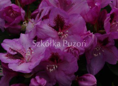 Rhododendron (różanecznik) 'Rasputin'