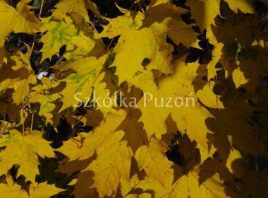 Acer platanoides (klon zwyczajny) 'Globosum' (jesień)