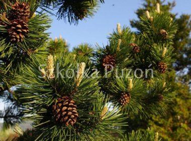 Pinus sylvestris (sosna pospolita)