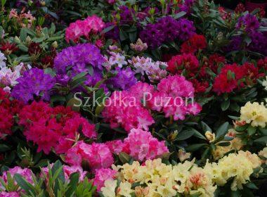 Rhododendron (różanecznik)