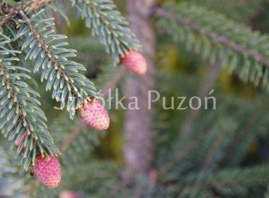Picea nigra (świerk czarny) 'Nana'