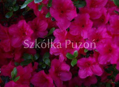 Rhododendron (azalia japońska)