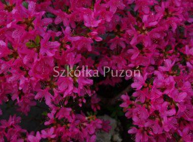 Rhododendron (azalia japońska) 'Diamant Rosa'