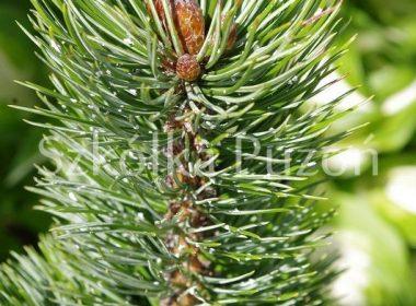 Pinus aristata (sosna oścista)