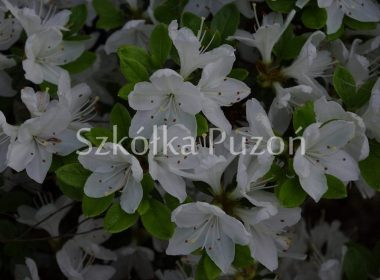 Rhododendron (azalia japońska) 'Kermesina Alba'
